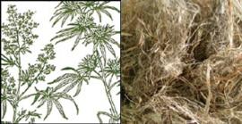 Cànem (Cannabis sativa)