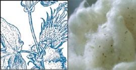Cotó (Gossypium herbaceum)