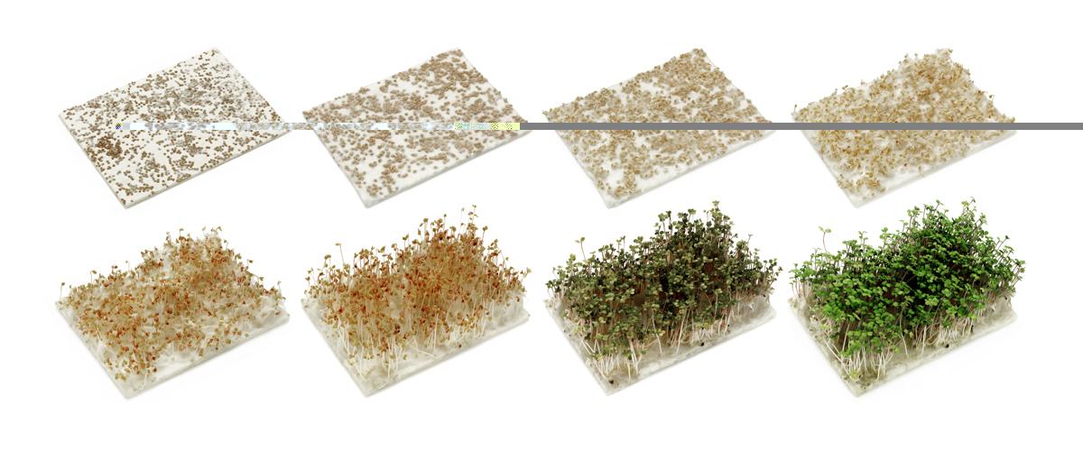 Paper germinat - Ceba