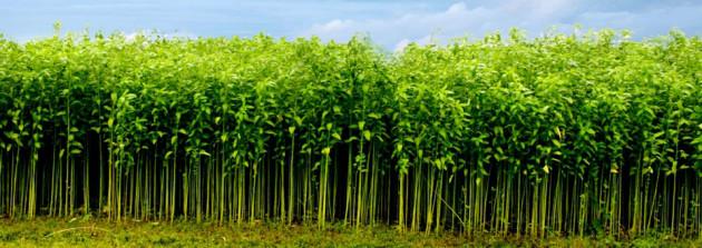 Planta de yute