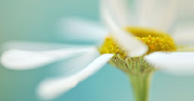 Essential Oil 100%. Camomile - Item1