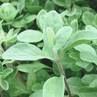 Essential Oil 100% Marjoram