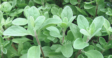 Essential Oil 100% Marjoram - Item1