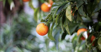 Aceites Esenciales Orange Bergamota - Ítem1