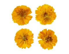 1900 Flor seca prensada cosmos amarillo Innspiro