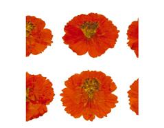 1901 Flor seca prensada cosmos naranja Innspiro