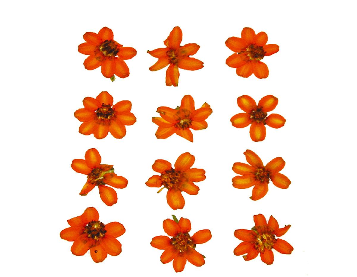 1905 Flor seca prensada zinia linearis naranja Innspiro
