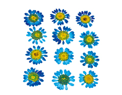 1910 Flor seca prensada mini chrysanthemum azul Innspiro