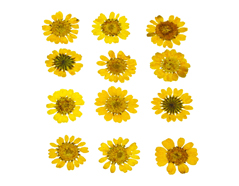 1912 Flor seca prensada mini chrysanthemum amarillo Innspiro