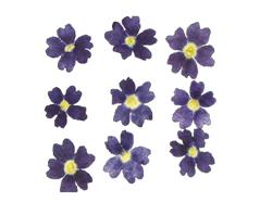 1919 Flor seca prensada verbena azul Innspiro