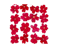 1922 Flor seca prensada verbena rojo Innspiro