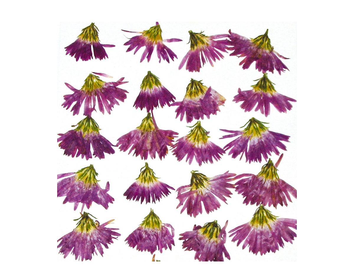 1923 Set de 10 flores secas peacock morado Innspiro