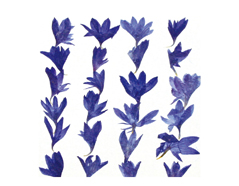 1924 Set de 10 flores secas centaurea cyanus azul Innspiro