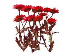 1929 Flor seca prensada mini chrysanthemum with stem rojo Innspiro