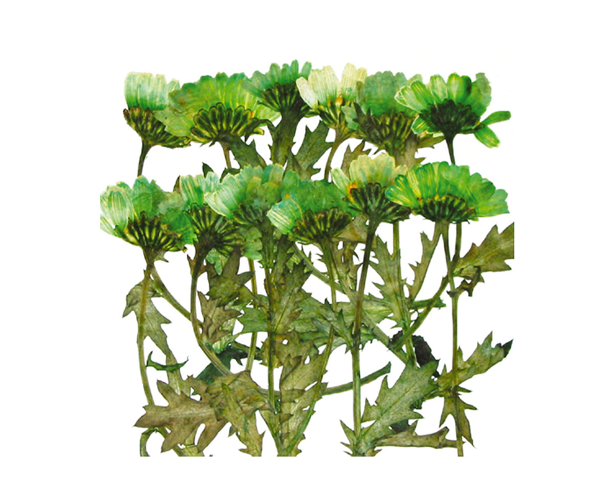 1931 Flor seca prensada mini chrysanthemum with stem verde Innspiro