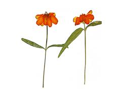 1933 Flor seca prensada zinia linearis rojo Innspiro
