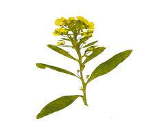 1934 Flor seca prensada alyssum amarillo Innspiro