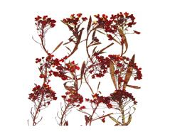 1935 Flor seca prensada alyssum rojo Innspiro