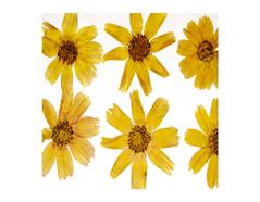 1940 Flor seca prensada cosmos amarillo Innspiro