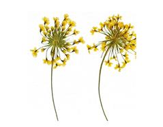 1947 Flor seca prensada ammi with stem amarillo Innspiro