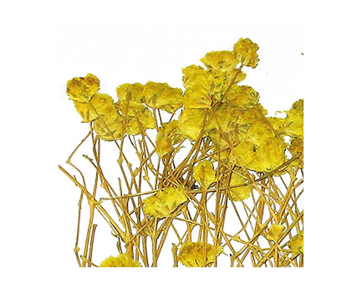 1950 Flor seca prensada gypsophlia amarillo Innspiro
