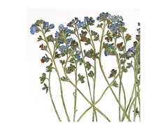 1952 Flor seca prensada forgetmenot azul Innspiro