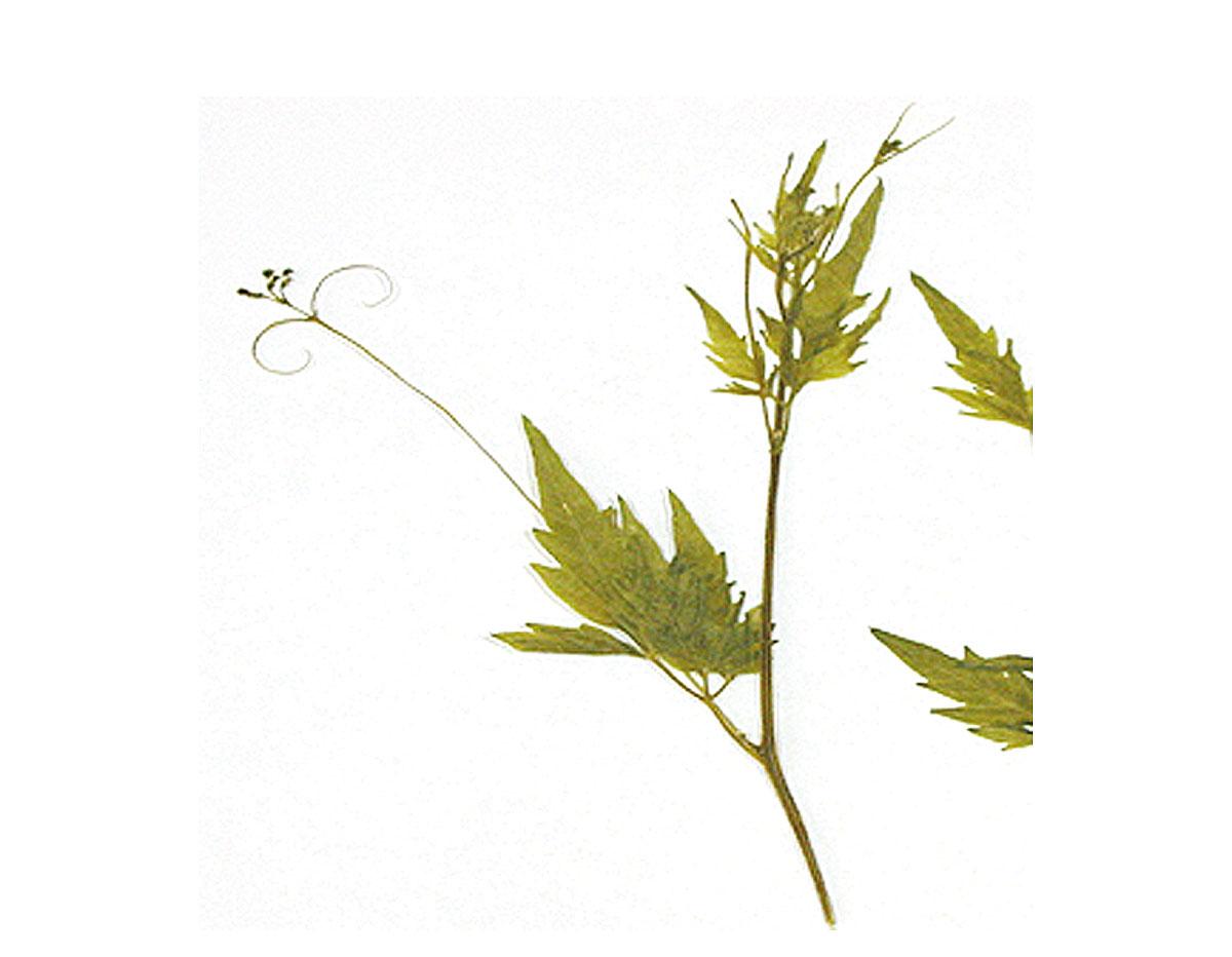 1954 Flor seca prensada fiel bell verde Innspiro