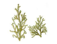 1958 Flor seca prensada leucapodium verde Innspiro - Ítem