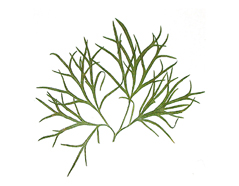 1959 Flor seca prensada larkspur leaves verde Innspiro