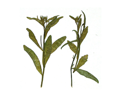 1960 Flor seca prensada loberia leaves verde Innspiro - Ítem