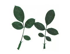 1961 Flor seca prensada rose leaves verde Innspiro
