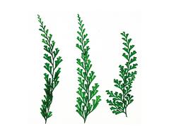 1962 Flor seca prensada slim fern verde Innspiro