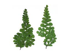 1965 Flor seca prensada fern verde Innspiro