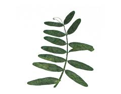 1968 Flor seca prensada seed sprout verde Innspiro