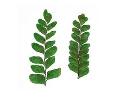 1969 Flor seca prensada small maiden fern verde Innspiro