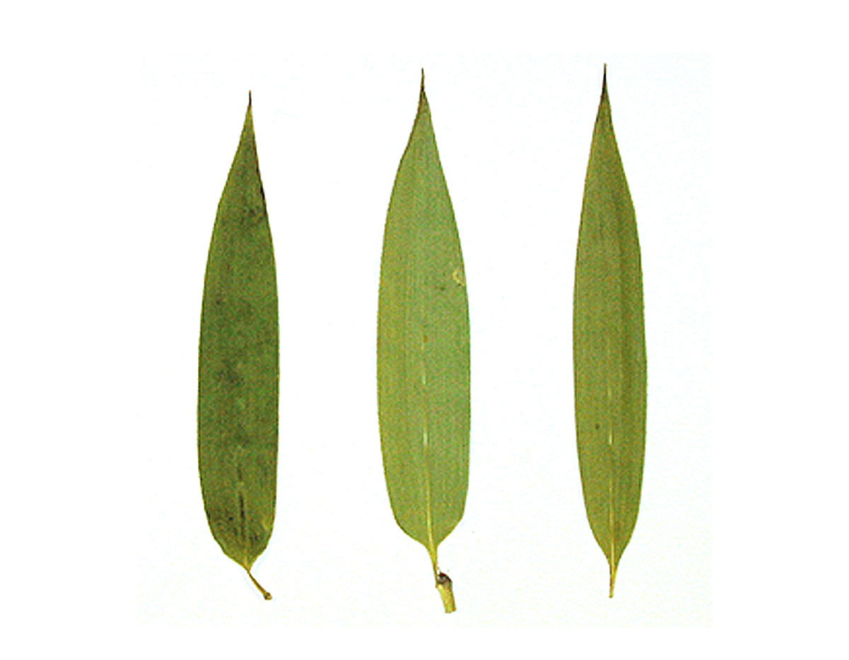 1970 Flor seca prensada river bamboo verde Innspiro