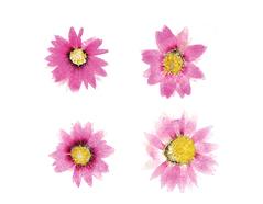1974 Flor seca prensada thin steam rosa Innspiro