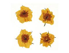 1975 Flor seca prensada mini rose naranja Innspiro