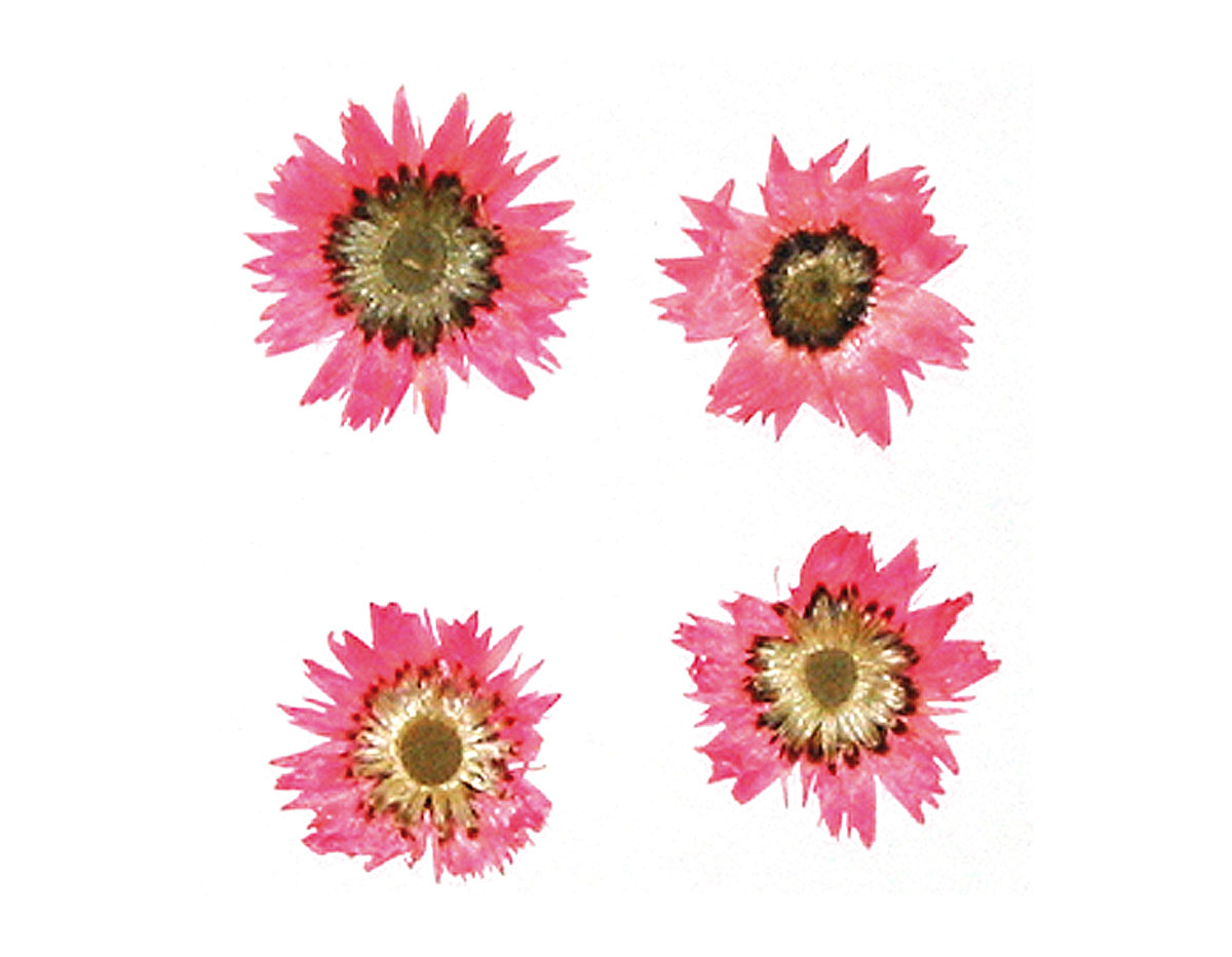 1976 Flor seca prensada baby everlasting rosa Innspiro