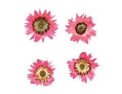 1976 Flor seca prensada baby everlasting rosa Innspiro - Ítem