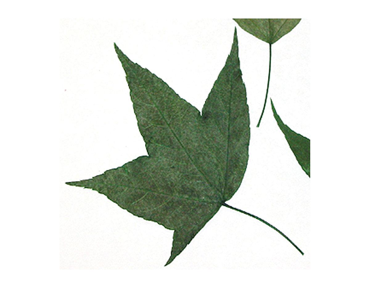 1979 Flor seca prensada maple leaves verde Innspiro